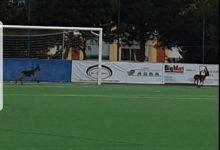 Photo of Varias cabras montesas campan a sus anchas por el campo de fútbol Miramar