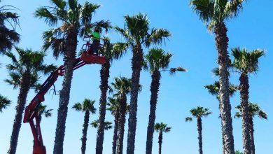 Photo of Comienzan los trabajos de poda en las palmeras de Adra