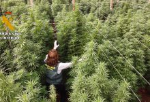 """Photo of La Guardia Civil interviene 125.000 plantas de """"cannabis"""" en ocho plantaciones de cáñamo"""